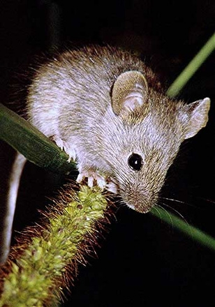 Zwalczanie myszy w Warszawie