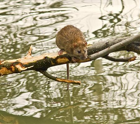 Zwalczanie szczurów Warszawa
